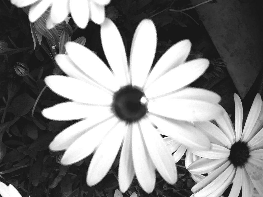 Imagenes De Flores En Blanco Y Negro Fondos De Pantalla Y Mucho Mas