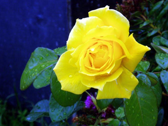 Rosas Amarilla Con Dorado