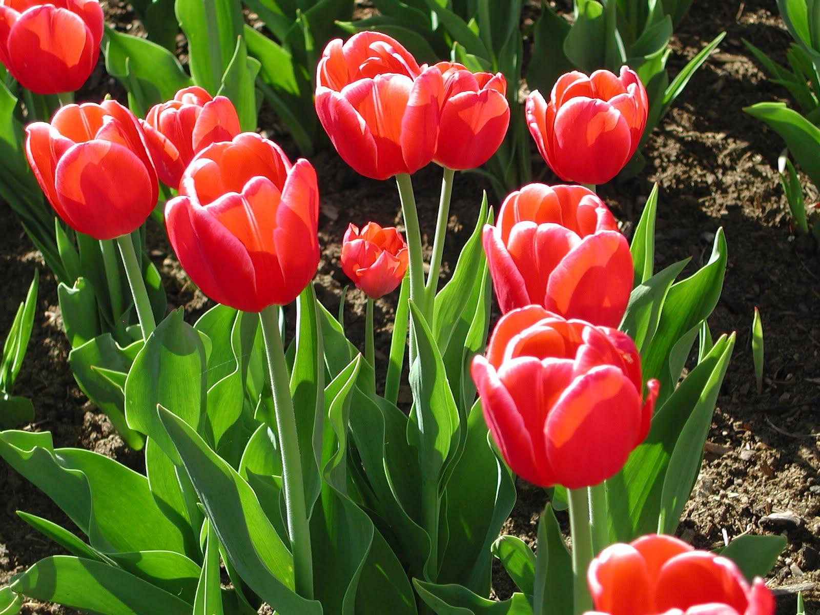 Adquiere Aqui Estos Fondos De Pantalla Con Flores Hermosas: Fondos De Pantalla De Flores – Tulipanes