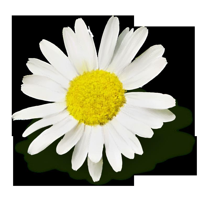 Flores Png Margaritas Fondos De Pantalla Y Mucho Mas