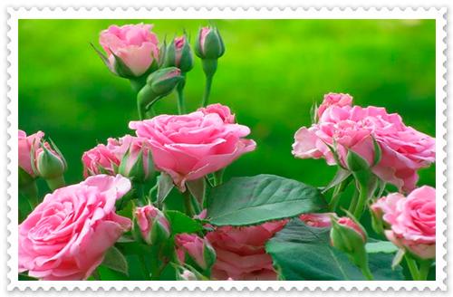 Postales de Flores – Rosas | Fondos de pantalla y mucho más